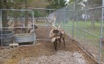 You can also visit with the other reindeer in the stockade