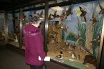 A visitor to the Sportsman Migratory Bird Centerat Magee Marsh checks out museum of mounted birds