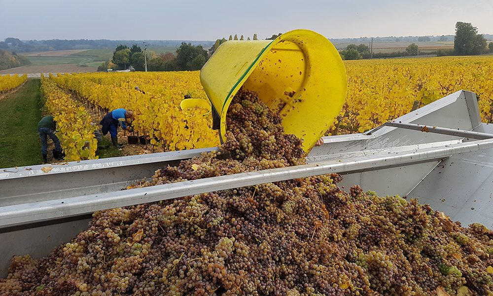 white grapes harvest