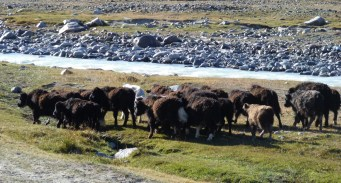 Drink time for baby yaks