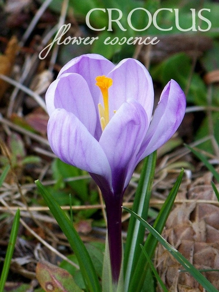 Crocus One Willow Apothecaries