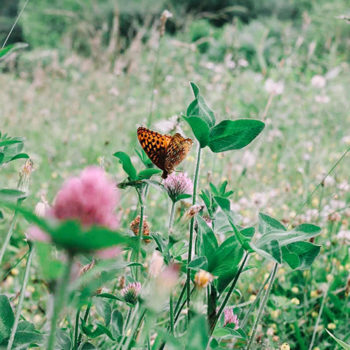 butterfly-on-clover_500x500
