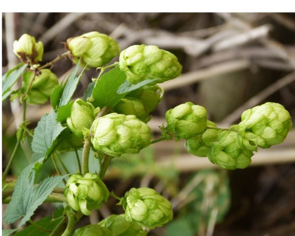 Hops vine and flowers