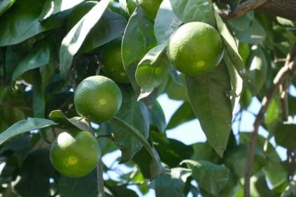 Mandarinen kurz vor der Ernte
