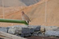 Alle Vögel sind schon da, auch die Bergtaube