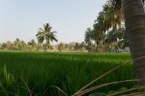 Reisfeld vor Felsenlandschaft in Hampi.