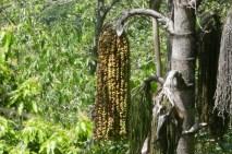 Aus diesen Früchten der Palme wird Schnaps gebrannt.