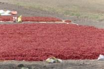 Chilli-Ernte und Trocknung auf den Feldern.