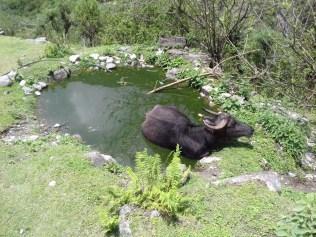 Den Wasserbüffeln scheint das Höhenklima gut zu bekommen. Kühe gibt's hier oben keine mehr.