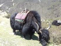 Yak, das Himalaya-Rind. Auszug aus Wiki: Wegen seiner Anpassung an die extremen klimatischen Bedingungen seines Lebensraumes stellt der Yak im zentralasiatischen Hochland und den angrenzenden Ländern nach wie vor die Lebensgrundlage eines großen Teils der dort lebenden Menschen dar. Er liefert Milch, Fleisch, Leder, Haar und Wolle. Sein Kot dient als Brennmaterial. Nach wie vor wird der Yak als Last- und Reittier genutzt. Auf einem über 1,4 Millionen Quadratkilometer großen Gebiet sind bäuerliche Lebensweisen überwiegend nur durch Yaks möglich.