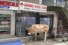 Die Kuh war schon mit einem Bein auf dem Behandlungsstuhl, fanden die Helferinnen bei aller Heiligkeit des Vierbeiners dann doch nicht so doll.
