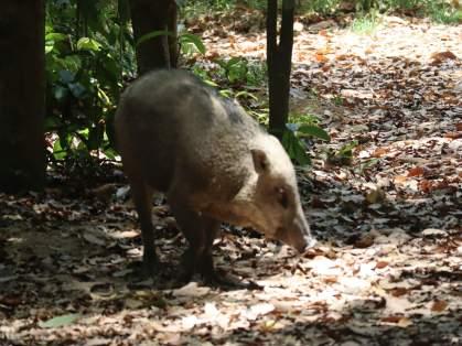 Frei lebende Wildschweine sind offensichtlich an die Besucher gewöhnt.