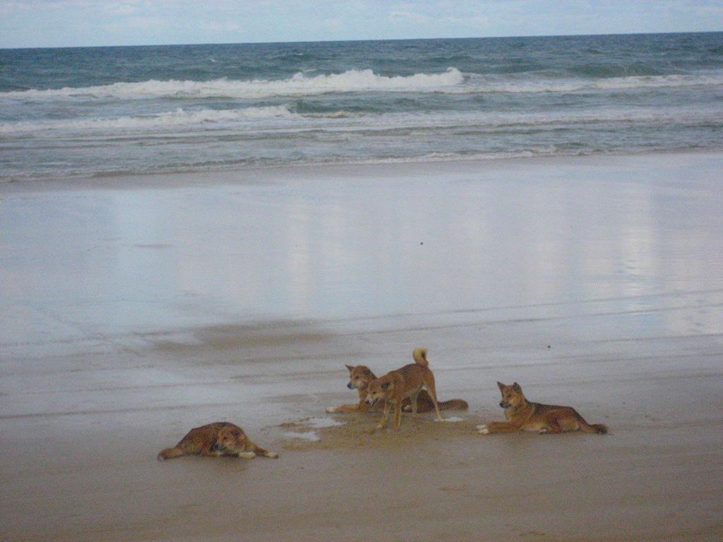 Australia-Dingo
