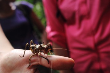gabon, cricket, insect, entomology, travel, africa