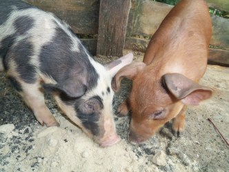 New piglets for meat