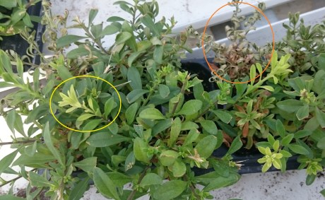 Yellowed plant growth (yellow circle) and dead plugs (orange circle) on a plug tray of Callibrachoa.