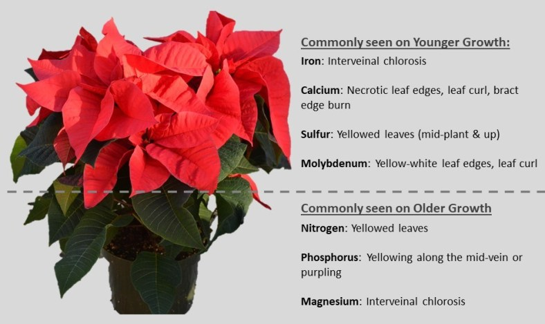 Poinsettia Nutrition