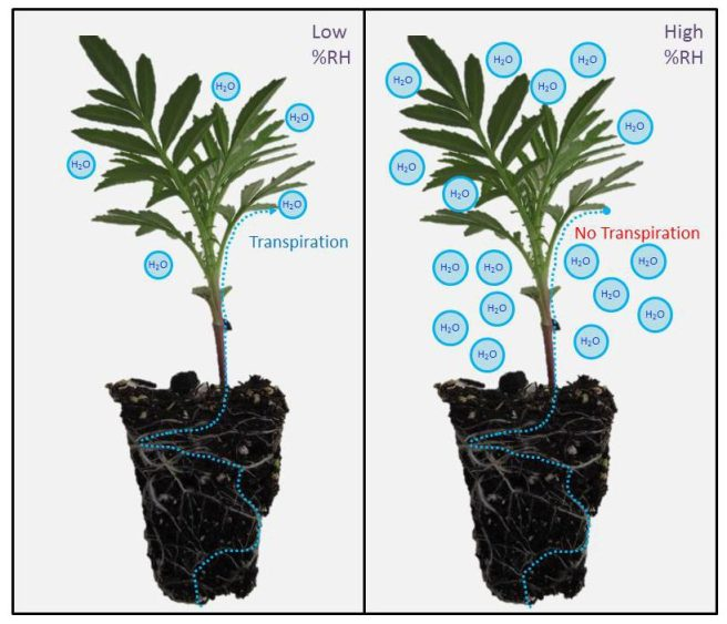 Figure 2. High humidity makes it hard for the plant to transpire, allowing water to collect in leaf tissues.