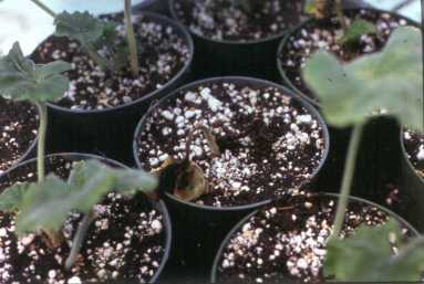 Geraniumseedlings