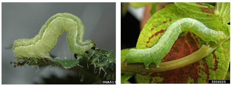 looper larvae.jpg
