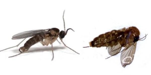 sciaridae vs mycetophilidae