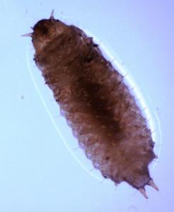Figure 3 sap beetle larva occasionally found in fruit (photo credit D. Muller)