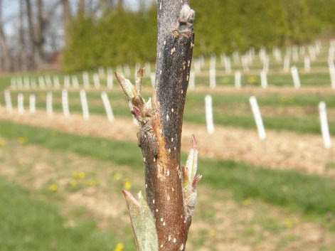 Fig 2. Visible margin of fire blight infection below which tissue appears healthy