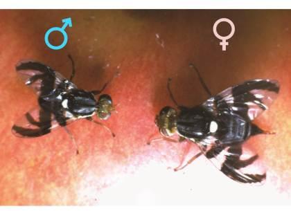 Male and female apple maggot