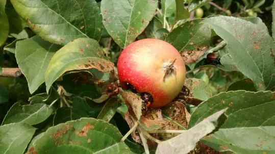 Japanese beetle damage to apple leaves