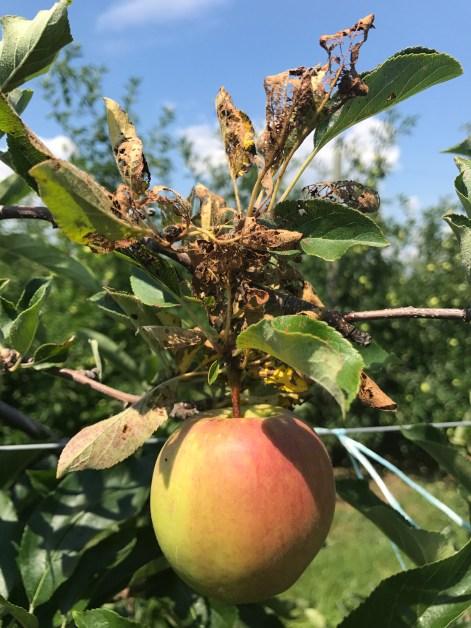 Japanese beetle feeding damage on apple leaves