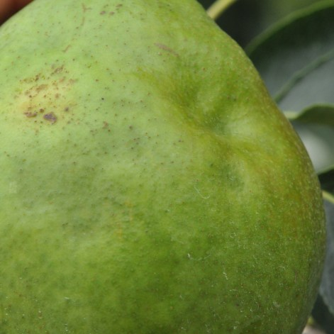 Figure 1b. Early stink bug injury of pear. Note: it cannot be confirmed whether this damage was caused by BMSB or another stink bug. However, BMSB was observed in the orchard. (Wendy McFadden-Smith, OMAFRA)