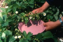 strawberry_tapping-for-tarnished-plant-bug_zoom