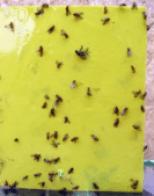 SWD yellow sticky card