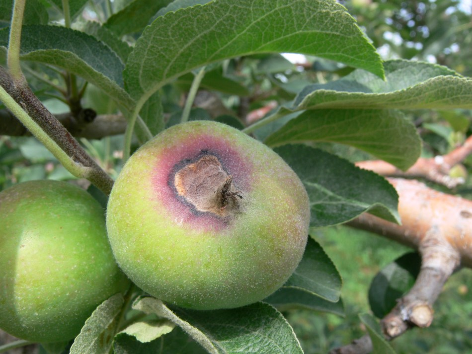 Symptoms of calyx end rot on a developing apple fruit