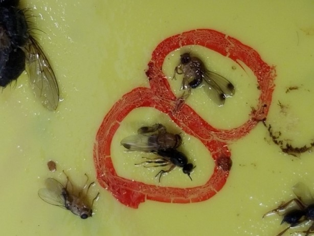 Picture of a yellow sticky card with SWD males.