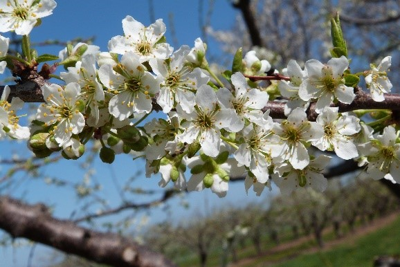 Photo of plum blossoms