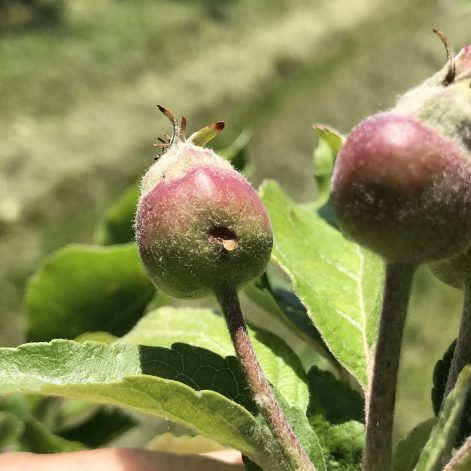 Fresh plum curculio damage on apple fruitlet