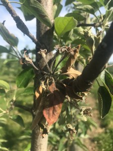 Blossom blight on apple