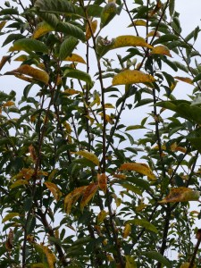 Multiple leaves on tart cherry tree showing golden yellow discolouration
