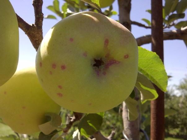 Apple damage by San Jose scale