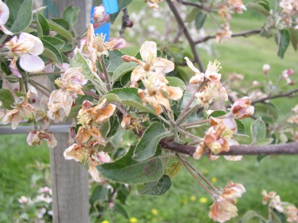 Example of a full-season apple scab management program during a cool, wet spring followed by a warm, humid summer. Fungicides or groups highlighted from tight cluster through summer covers may also provide efficacy on powdery mildew, rust, fly speck, sooty blotch, black rot and bitter rot.