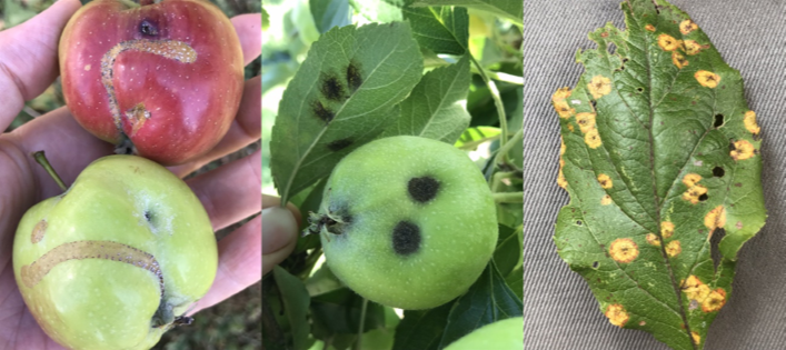 Examples of good close-up pictures of apple pest issues. Placing a hand, leaf or paper behind subject can help with focus.