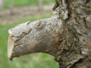 Overwintering San Jose scale on limb of apple tree