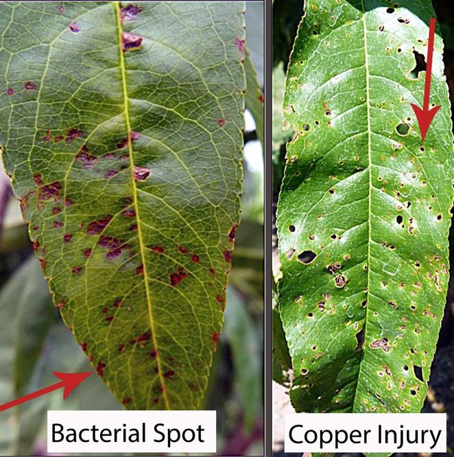 Contrasting images of bacterial spot on left and copper injury on right.  Table below explains differences.