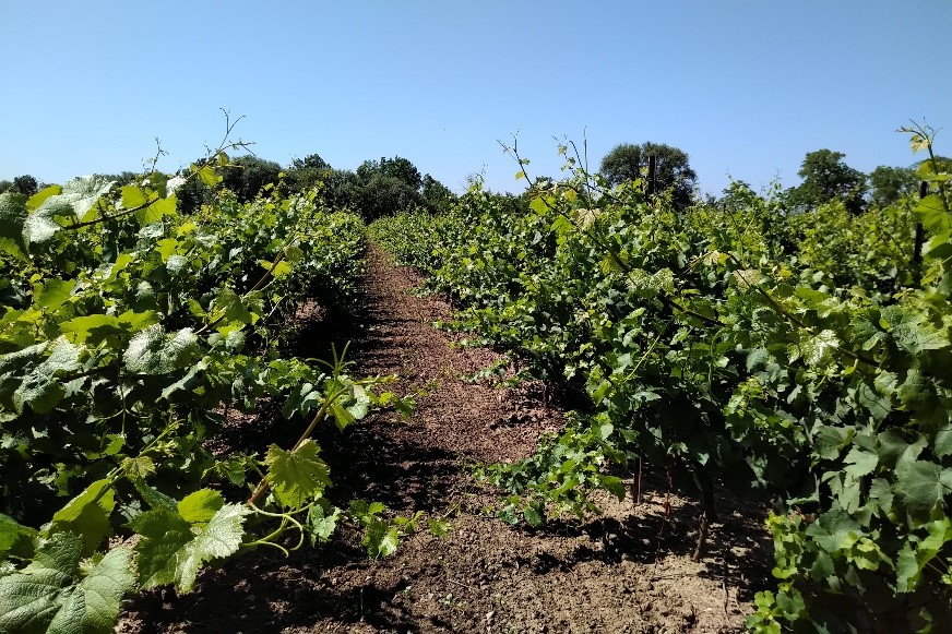 The image shows two rows of vigorous chardonnay grape vines found in Niagara on the Lake. The vines are very tall and have grown past the training wires.
