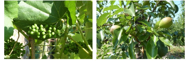 On the left is an image of fresh green grapes growing on the vine. The grapes are green and sit clustered together in a bunch. The photograph on the right is of developing pear fruitlets. They are green and red and two fruitlets sit on one branch.