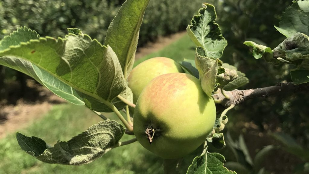 Ambrosia apple in late July
