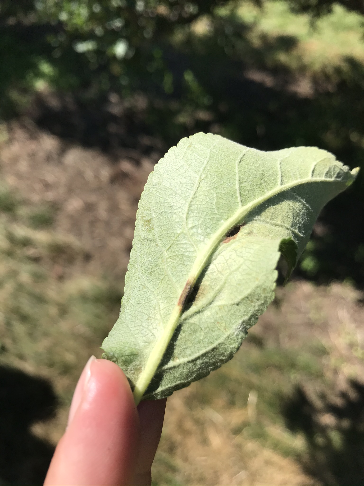 Apple scab lesion on underside of leaf.
