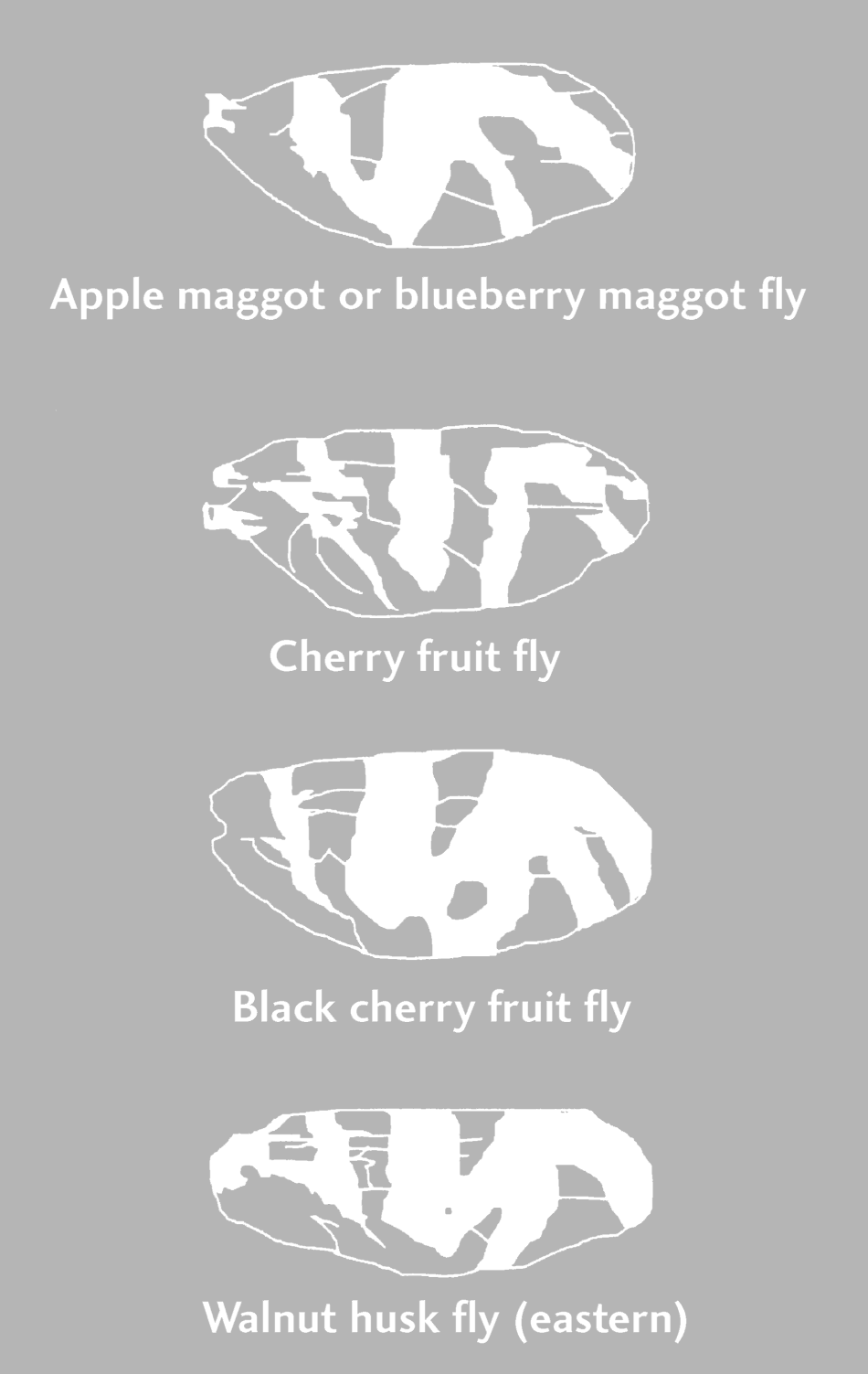 Wing patterns of apple maggot and related species.