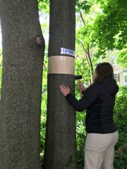 OMAFRA student putting up a brown brand around a tree at shoulder height.